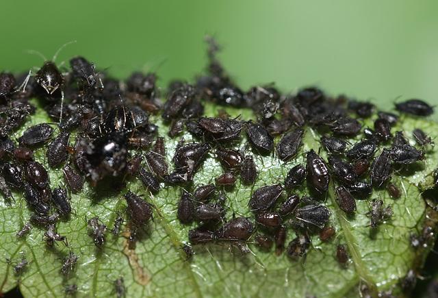 Black aphids