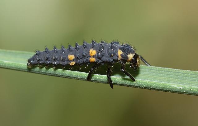 7-spot ladybird (Coccinella septempunctata) larva