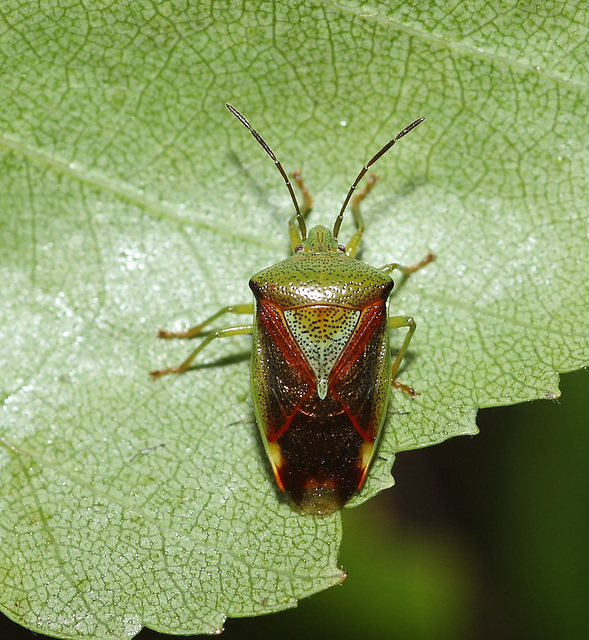 Shield bug