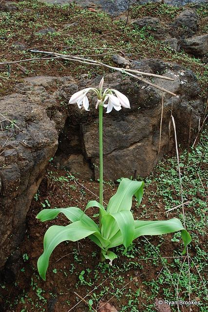 20080615-0094 Crinum latifolium L.