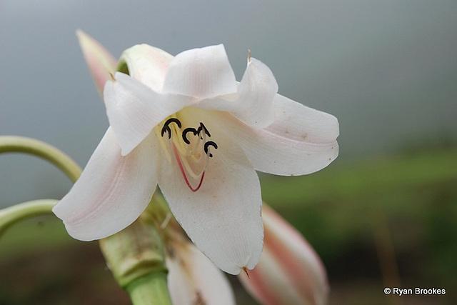 20080615-0095 Crinum latifolium L.