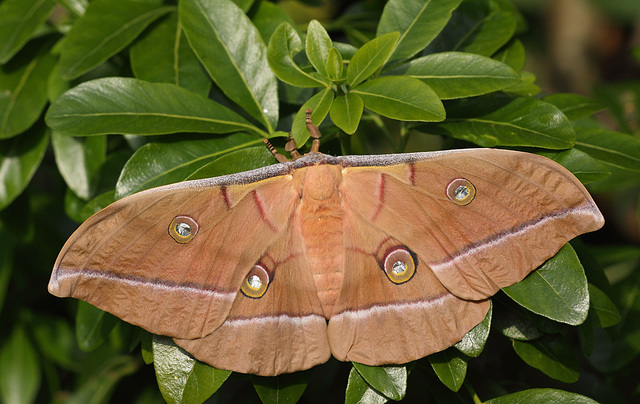 Chinese Oak Silkmoth (Antheraea pernyi), female