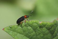Cereal leaf beetle (Oulema melanopus) I think