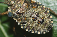 Forest shield bug (Pentatoma rufipes) nymph