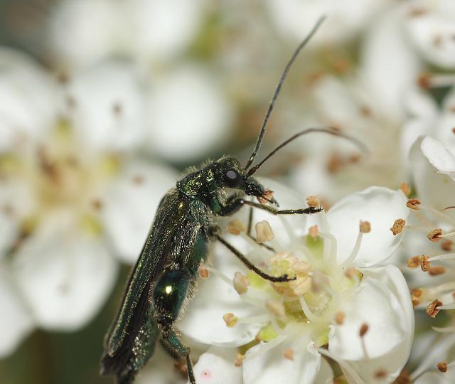 Swollen-thighed beetle (Oedemera nobilis)