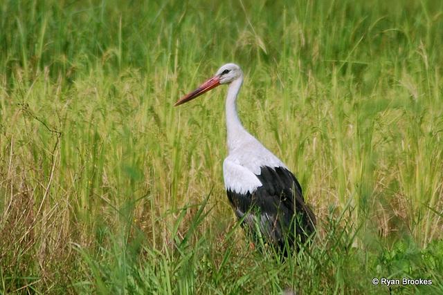 20081008-0028 White stork
