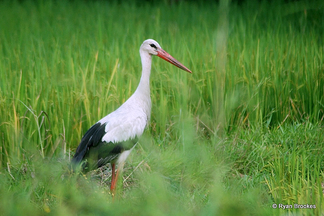 20081008-0050 White stork