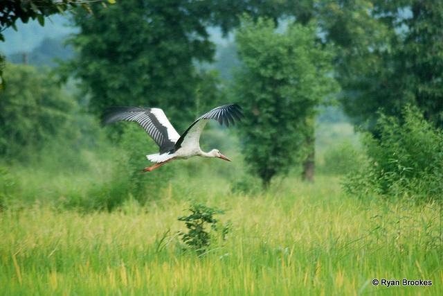 20081008-0058 White stork