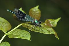 Banded demoiselle damselfly (Calopteryx splendens)