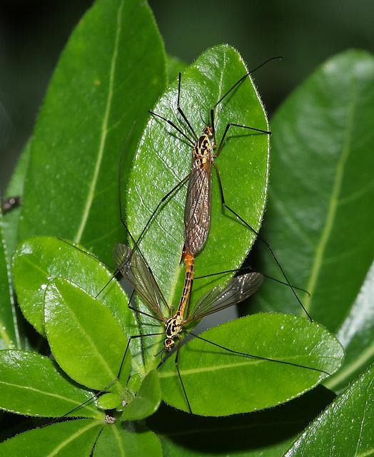 Tiger craneflies