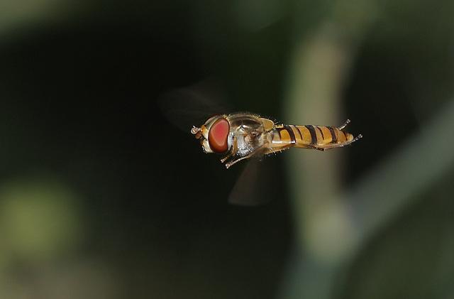 Marmalade hoverfly (Episyrphus balteatus)