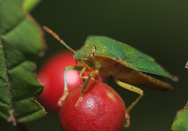 Shield bug