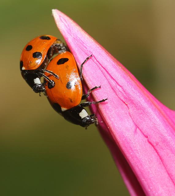 7-spot ladybirds (Coccinella 7-punctata) mating