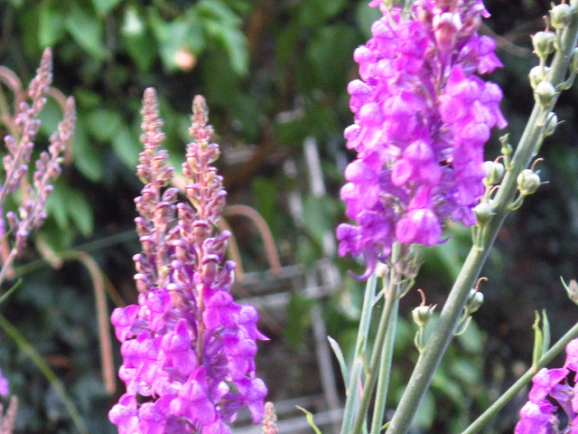 Purple toadflax