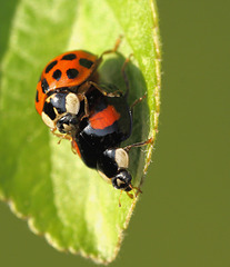Mating Harlequin Ladybirds