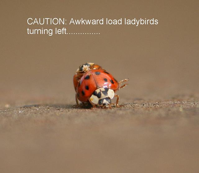 Ladybird lunacy