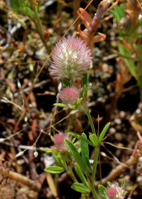 Trifolium arvense (4)