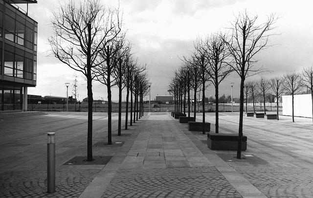 New trees, Riverside development, Hull. 2005