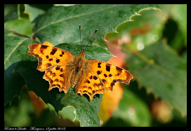Papillon Robert le Diable - DSC05167