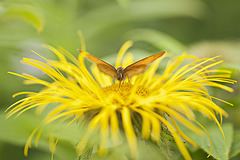 I love inulas........and so do butterflies !