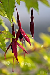 First Fuchsia Blooms