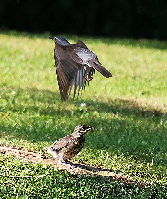 Die alte Drossel fliegt,