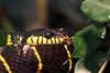 Mangroven-Nachtbaumnatter (Wilhelma)