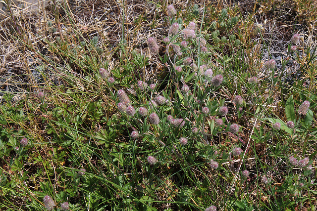 Trifolium arvense (5)