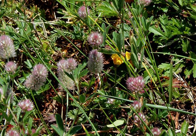 Trifolium arvense- Trèfle des champs
