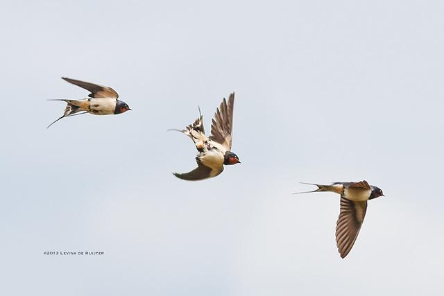 Barn Swallow / Boerenzwaluw / Hirondelle rustique (Hirundo rustica)