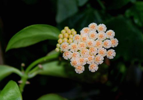 Hoya obscura (3)