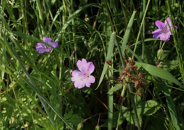 Geranium nodosum - Géranium noueux