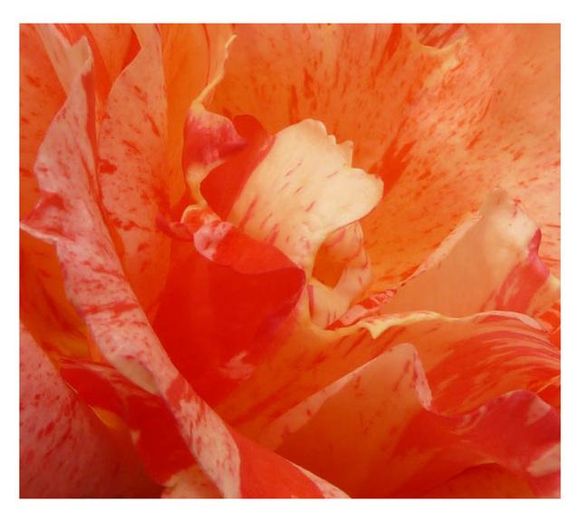 tulip rose1
