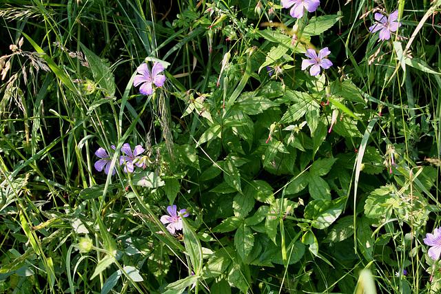 Geranium nodosum (4)