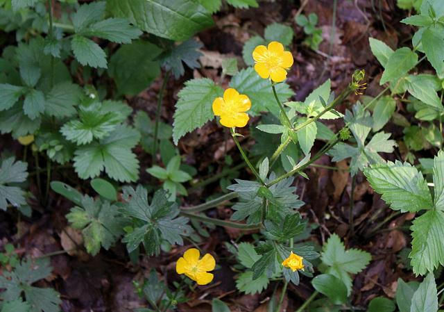 Ranunculus tuberosus- Renoncule tubéreuse