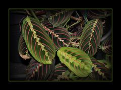 Maranta leuconeura erythroneura