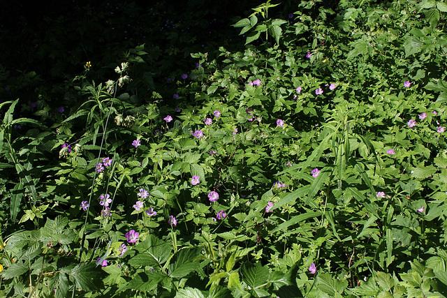 Geranium nodosum- Géranium noueux