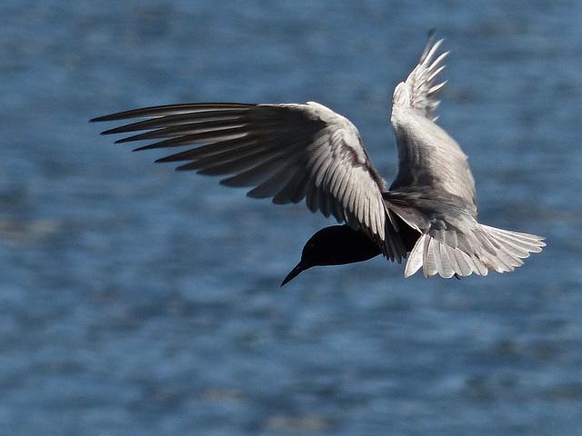 The Black Tern challenge
