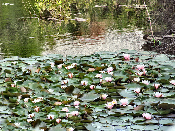 06 water  lillies