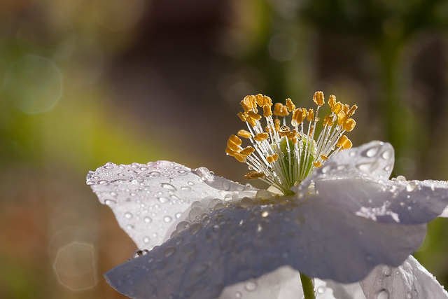 White Poppy with Droplets