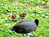 Eurasian Coot and Two Chicks .