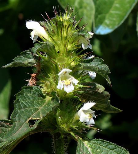 Galeopsis tetrahit blanc- Ortie royale