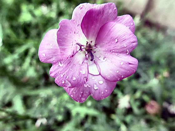 47 pink flower