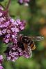 Schwebfliege und Blüte