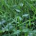 Epilobium groupe montanum (4)