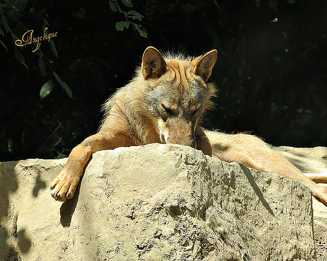 IMG 4211 Loup