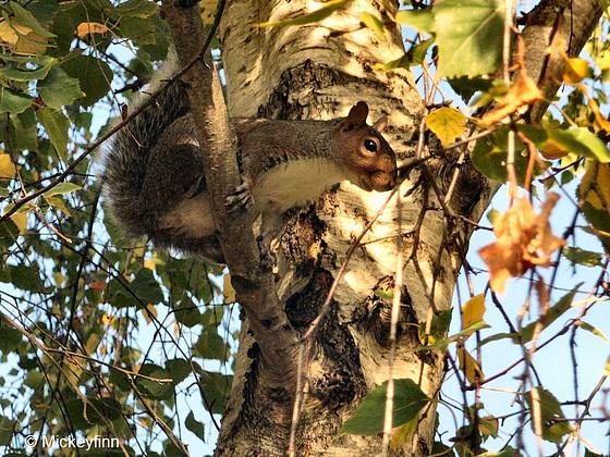 13 squirrel
