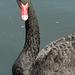 Black Swan (2) - 5 July 2013