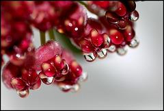 Nectar d'Hoya