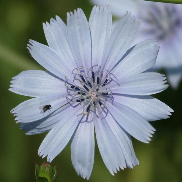 La fleur de chicorée.